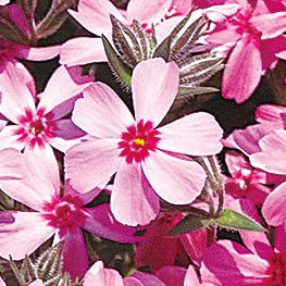 6枚の花びらの芝桜