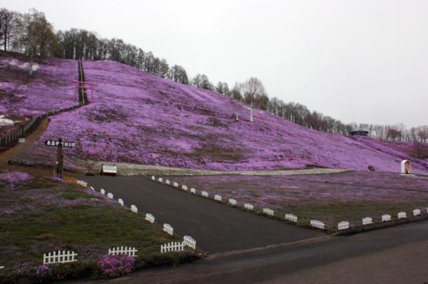 いまの芝桜公園の様子